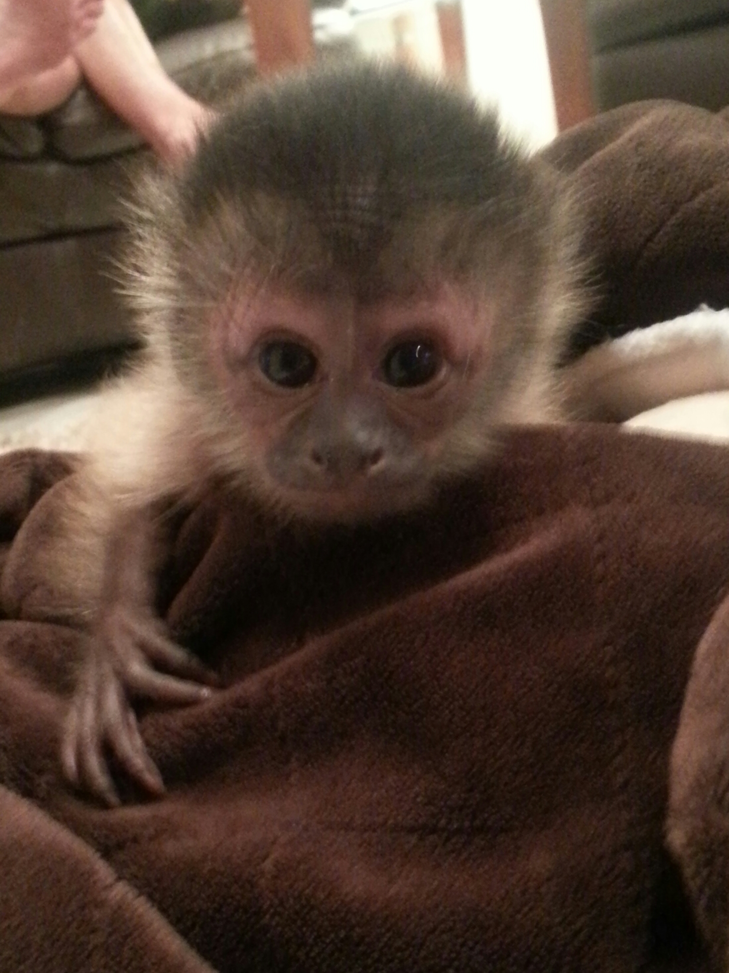 capuchin baby,primate baby,baby monkey for sale