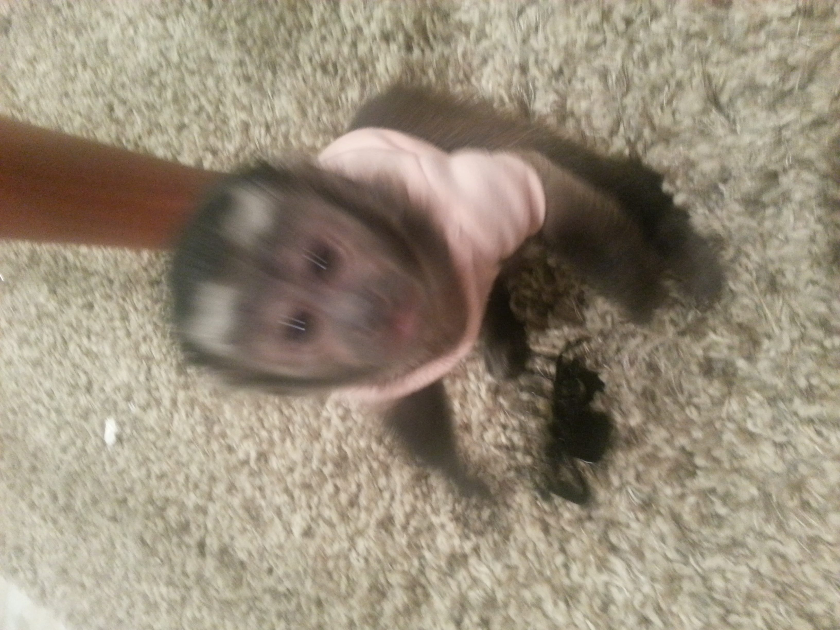 capuchin,primate,baby monkey,marmoset,primatesupply,capuchin for sale