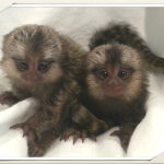 babu monkey,finger monkey pygmy monkey, marmoset for sale