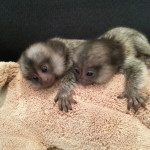 baby marmosets,finger monkey,marmoset for sale,minature monkey