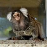 marmoset monkey, monkey forsale, white tuffted marmoset