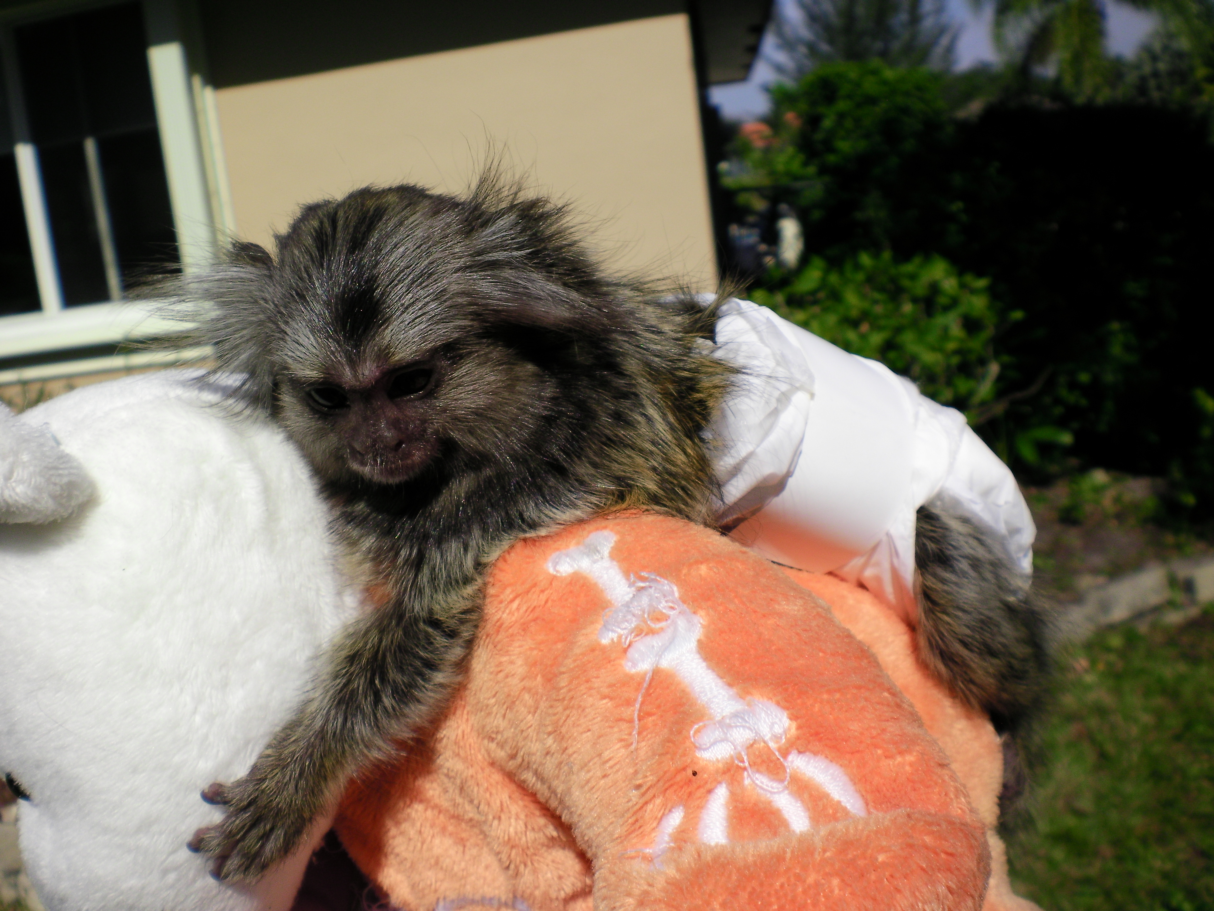 Marmoset Babies For Sale Baby Marmoset in Diapers