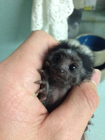 baby cotton top tamarin