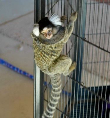marmoset,finger monkey,white tufted marmoset